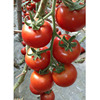 Seed Tomato Hybrid Red Hybrid Tomato Seeds From China