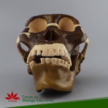 Animal Anatomy Ape Skull Model,Animal Skull,Anatomy Lung - Buy ...