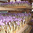 Factory saffron china wholesale with cheap saffron seed price