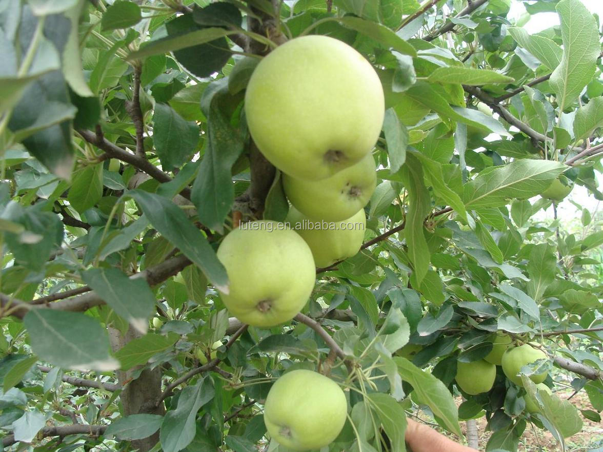 2014 new crop of delicious green Apple