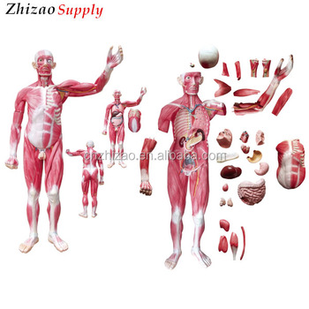 175cm Human Whole Body 29 Parts Viscera Muscles Anatomy Model - Buy ...