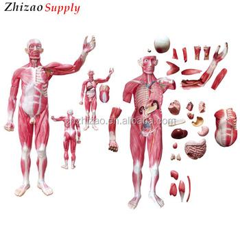 175 Cm Cuerpo Humano 29 Piezas Vísceras Músculos Anatomía - Buy ...