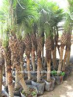 phoenix roebelenii date palm trees for outdoor