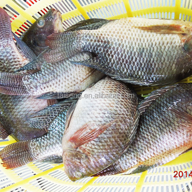 Frozen Tilapia clean gutted scale off 300-500 g