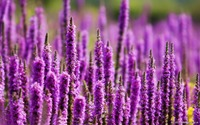 factory wholesale Lavender Essential Oil 100% Natural