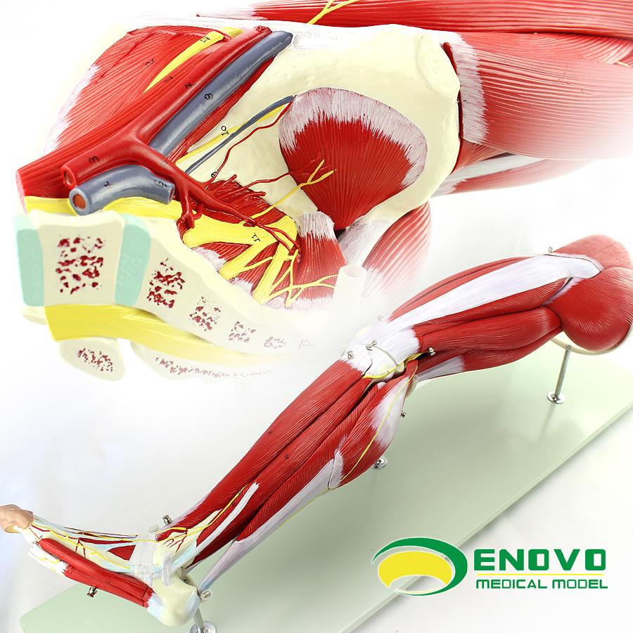 Venta al por mayor partes de una pierna humana-Compre online los ...