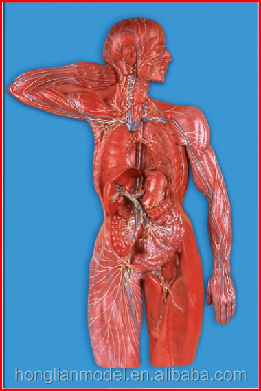 Gd/a16011 Human Lymphatic System Anatomical Model - Buy Lymphatic ...