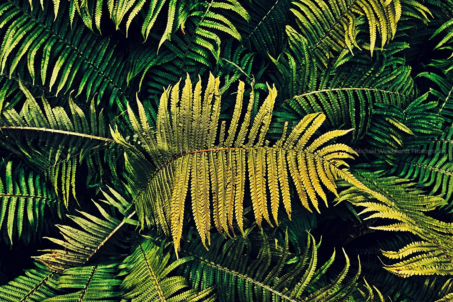 Fern Wallpaper Photo Print, Texture, Professional Photography Print, Nature Wallpaper, Paper & Canvas Prints, Nature Photography