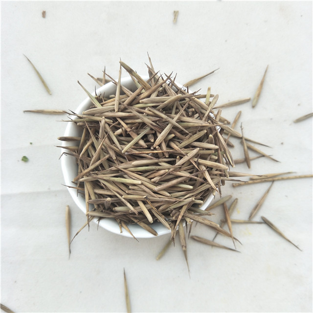 Ju zhu Chinese wholesale tree seeds Big Bamboo seeds for planting