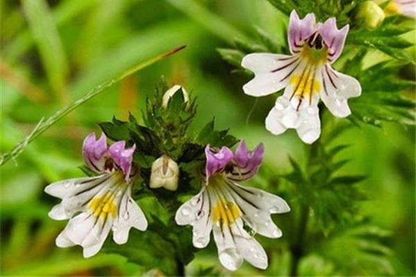 China Suppliers High Quality Herbal Medicine Extract Eyebright Extract