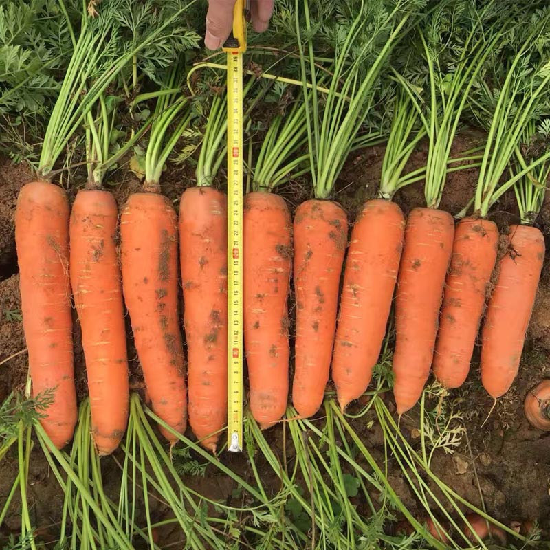 Linong 206 hybrid type carrot seeds price