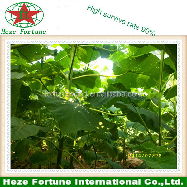 Accept western union high survive rate paulownia fortunei seeds