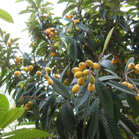 Touchhealthy Supply loquat tree seeds loquat fruit seeds