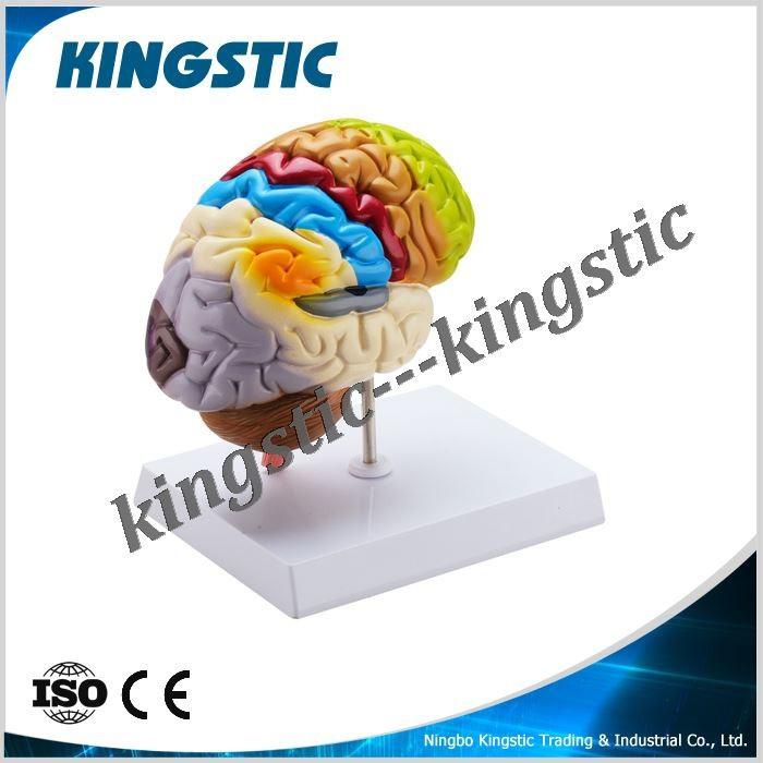 Human Brain Model (painted In Color),Medical Anatomy Brain Model ...