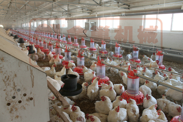 Goldenest broiler breeders equipment automatic poultry feeding system for parent stock chicken