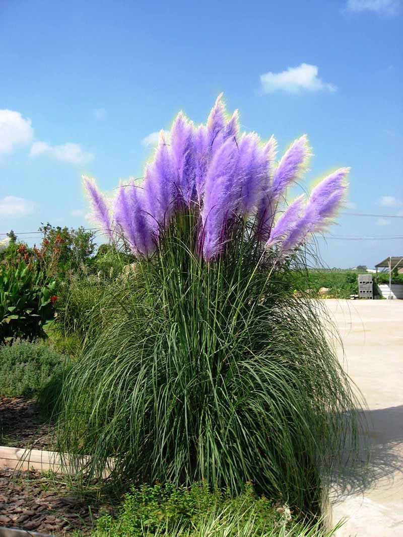 pampas grass grass seed and grasses on pinterest