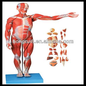 Iso Músculos Masculino Con Órganos Internos,Músculos Anatomía - Buy ...