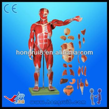 Medical 78cm human muscle model with internal organshuman body medical 78cm human muscle model with internal organshuman body anatomy model ccuart Choice Image