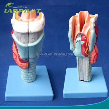 33 Anatomía Marcado Modelo Laringe Humana,Laringe Modelo - Buy ...