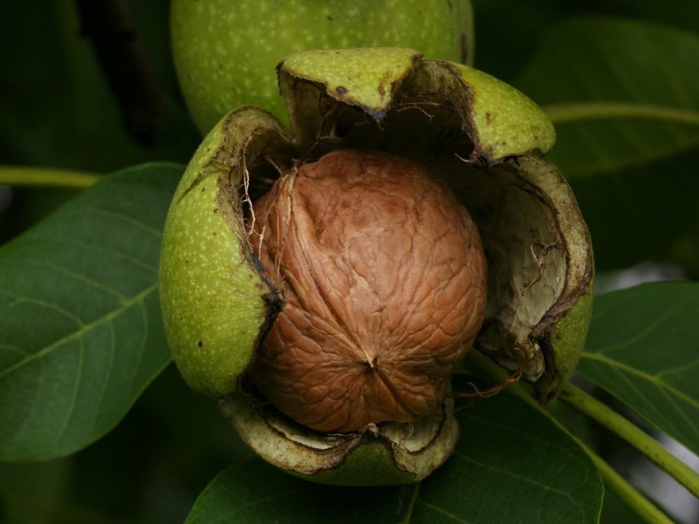 Walnut Tree Seedlings - Buy Walnut Seedlings,Walnut Fruit Tree,Walnut  Seedling Product on Alibaba com