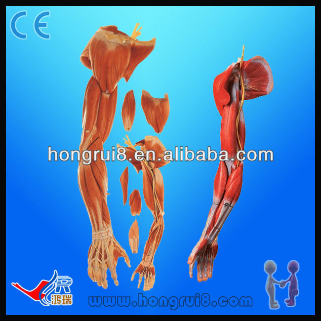 Upper Limbs Anatomical Modelmuscle Anatomy Model Buy Muscle