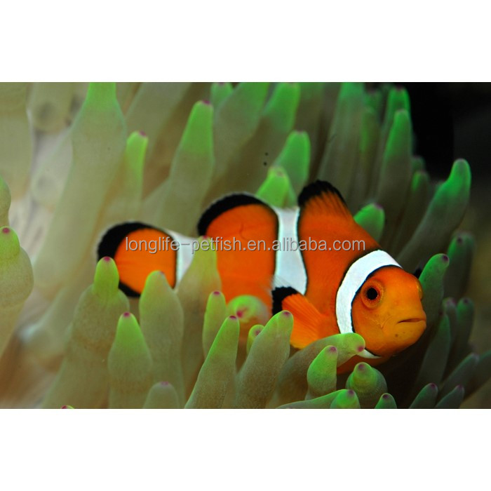 Live Marine Aquarium Clown Vis