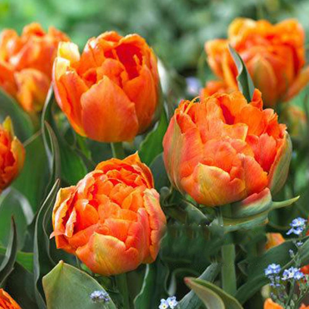 Cheap seeds and bulbs online find seeds and bulbs online deals on heart speaker 3pcs variety tulip bulbs seeds beautiful flower home garden plant decoration izmirmasajfo