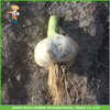 China Fresh White Garlic Cheapest Price and Top Quality