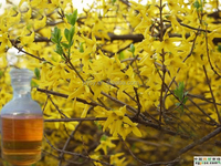 Anti-Inflammatory Forsythia Suspansa Weeping Forsythia Oil For Clearing Away Heat And Toxic Materials