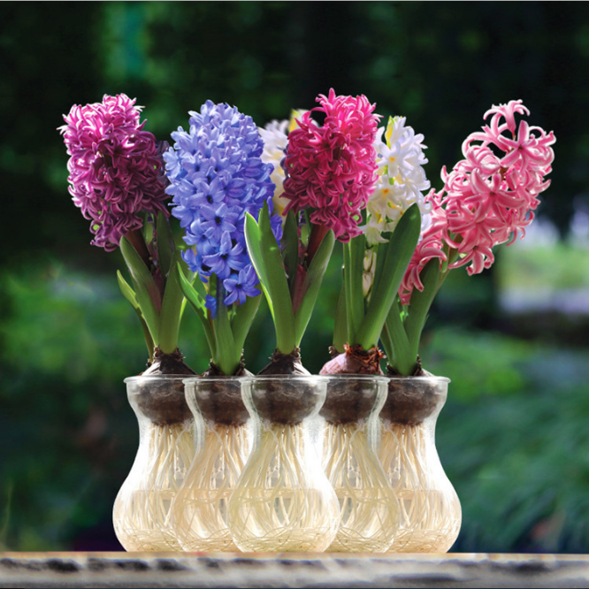 Feng Xin Zi Chinese Flower Plant Seedings Hyacinthus Orientalis Bulbs