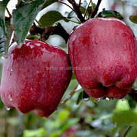 Sweet juicy fresh red delicious apple huaniu apple by wholesale