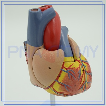 Pnt-0400 Medical 3d Heart Anatomy Model - Buy Human Body Anatomy ...