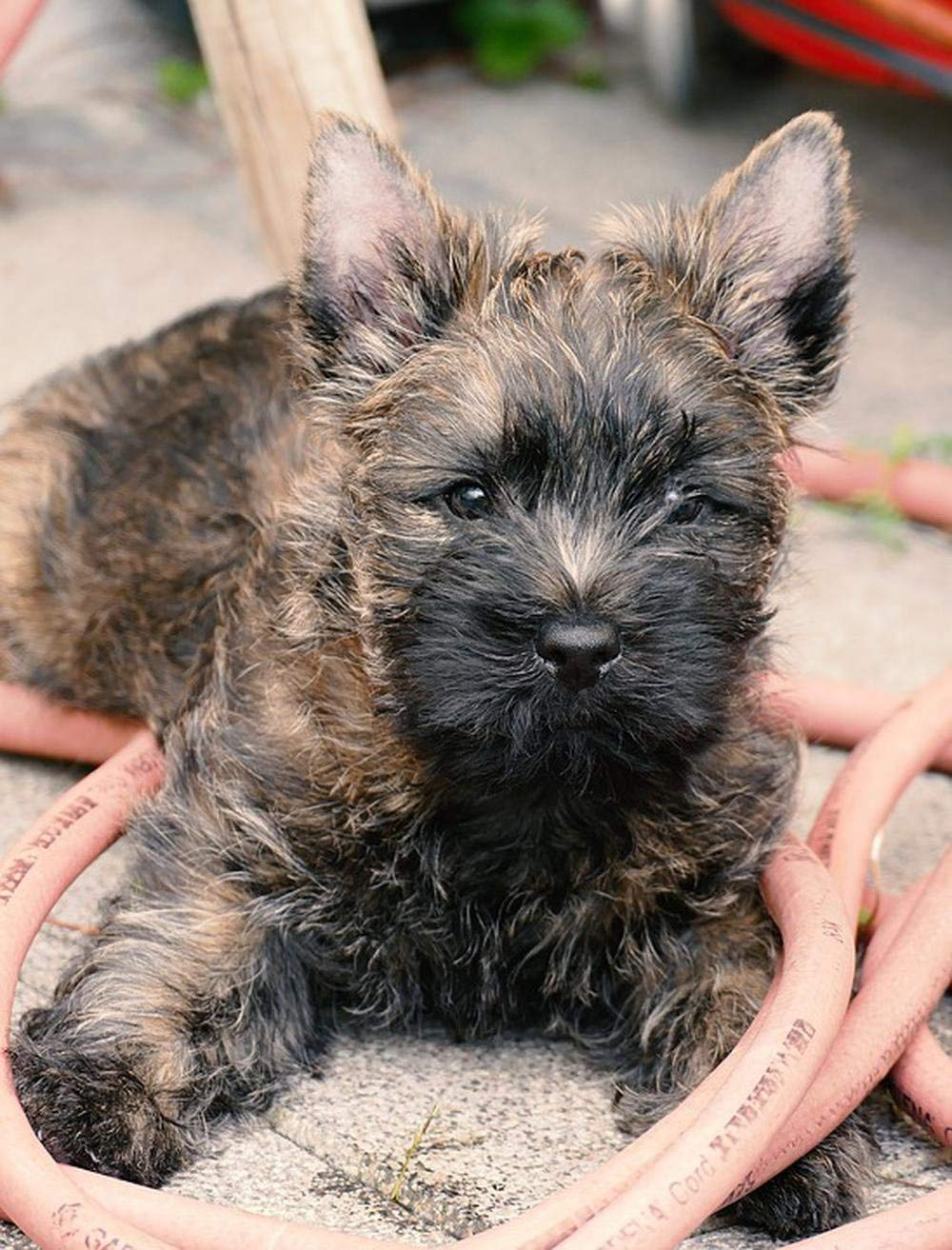 LAMINATED 24x31 inches POSTER: Puppy Cairn Terrier Terrier Garden Water Hose Animal Small Dog Cute Young Dog Animal Portrait Quadruped Snout Hundeportrait Attention Sweet Learn Pet Healthy