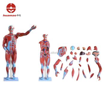 Hm-bd-145 Humano Modelo Del Cuerpo Humano Anatomía Muscular - Buy ...