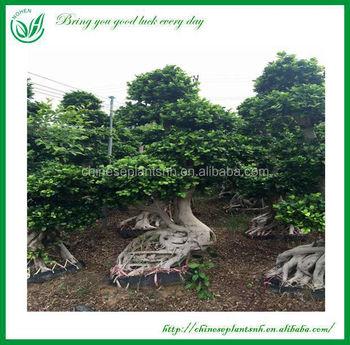 Bonsai Baum Gross