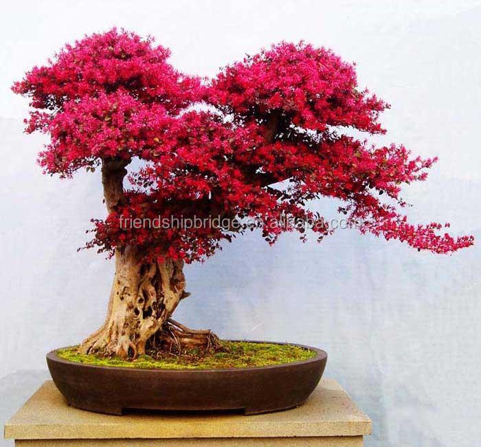Loropetalum Bonsai Tree (no.271) - ALL THINGS BONSAI