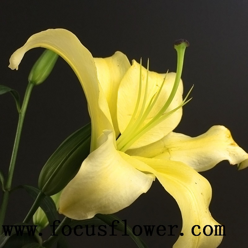 Beautiful Natural Flowers For Sale Natural Flower High Quality Real Touch Yellow King From Yunnan Names Of Decorative Flowers Buy Natural Flowers