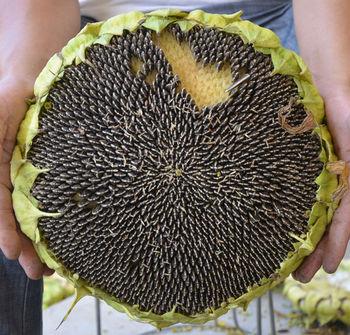 Planting Hybrid Sunflower Seed