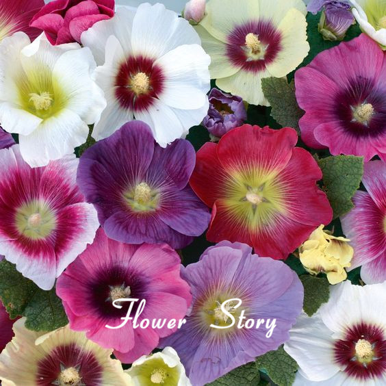 Hollyhock Colors: Aliexpress.com : Buy 100Mixed Color Hollyhock Seeds