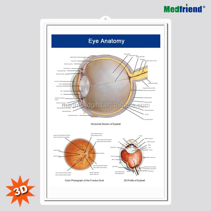 Eye Anatomy Chart, Eye Anatomy Chart Suppliers and Manufacturers at ...