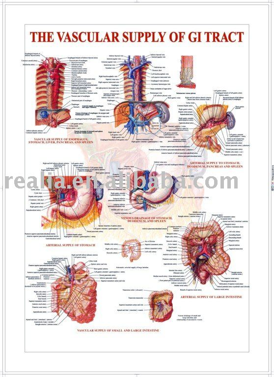 3d chart,anatomy chart, The Vascular Supply of Gastrointestinal Tract