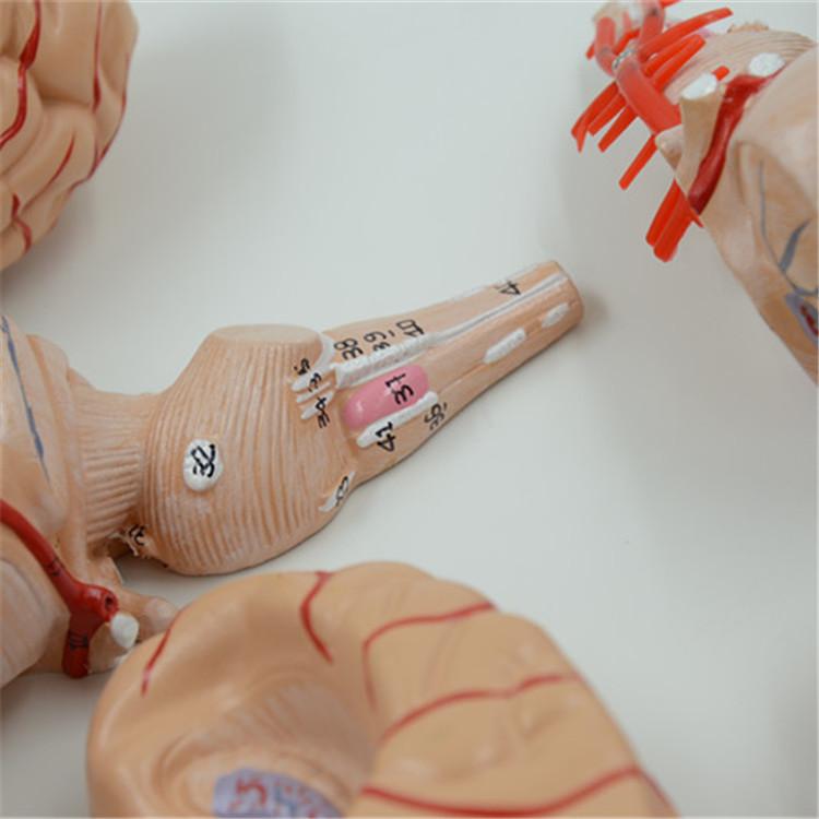 Anatomy Brain Model Wholesale Brain Model Suppliers Alibaba