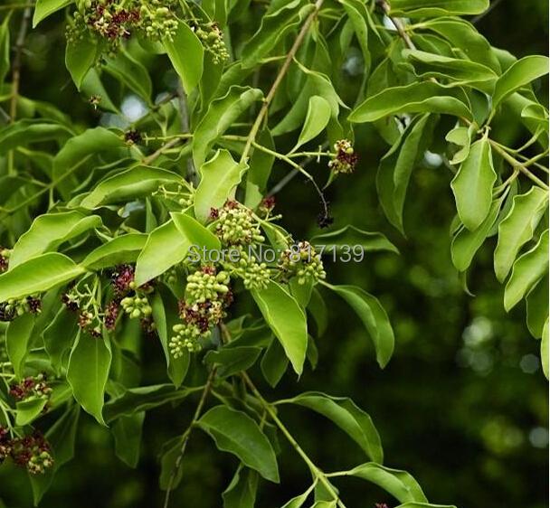 sandalwood plant nursery in bangalore dating