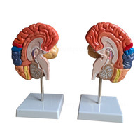Colorized Handmade Human Organs Brain Anatomical Model