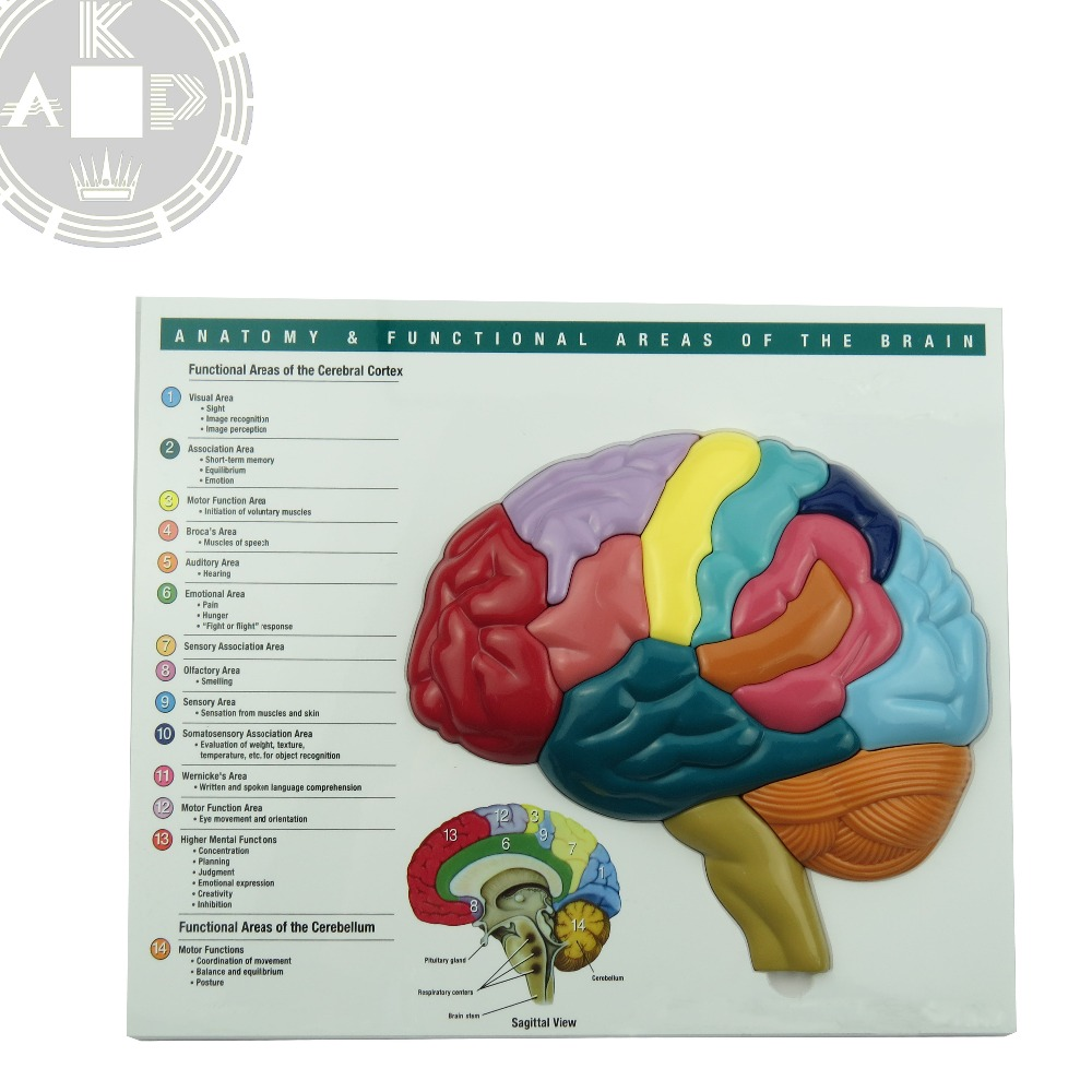 Anatomy Human Medical Brain Model Chart For Learning Brain Puzzle