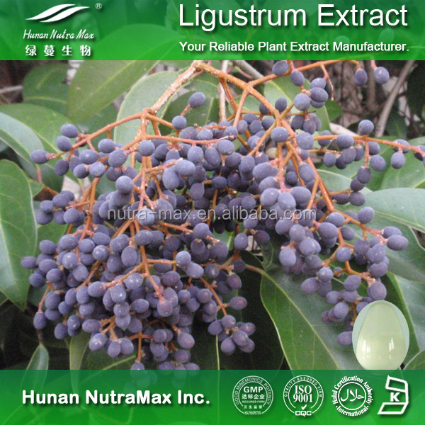 Health Food Glossy Privet Extract,Glossy Privet Extract Powder,Glossy Privet P.E.