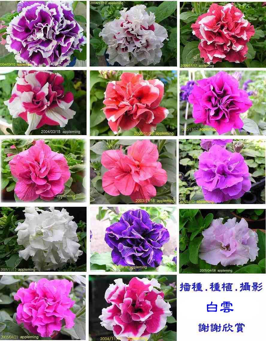 Petunia seeds images galleries with a - Plantas resistentes al sol ...