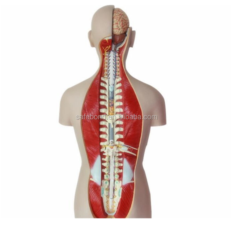 China Organs Body China Organs Body Manufacturers And Suppliers On