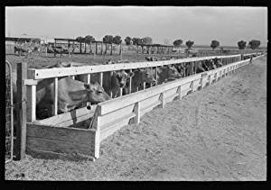 Photo: Dairy cattle at the feed trough,Casa Grande Valley Farms,Pinal County,Arizona 2
