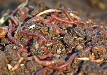 abono orgnico vermi compost - Abono Organico
